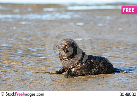 Free Young Sea Lion Stock Photography - 3048032