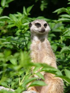 Free Suricate Looking For Enemies Stock Images - 3040354
