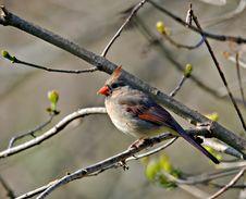 Free Cardinal (3) Stock Image - 3040471