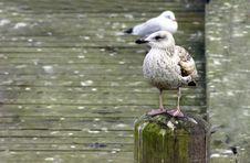 Free Sea-gull Stock Photos - 3042793