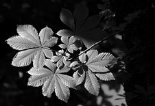 Free Horse Chestnut Leaves Stock Photo - 3044090