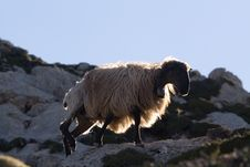 Free Mountain Sheep Crete 3 Royalty Free Stock Photos - 3046458