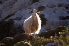 Free Mountain Sheep Crete 2 Stock Image - 3046471