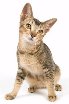 Free Kitten In Studio Royalty Free Stock Photos - 3047538