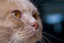 Free Cat, Cream British Stock Images - 3047654