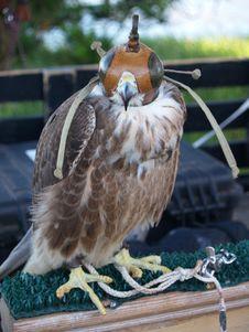 Free Hawk Resting Royalty Free Stock Image - 3047976