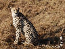 Free Cheetah Royalty Free Stock Photo - 3049405