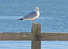 Free Seagull Royalty Free Stock Photo - 3049725