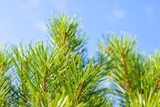 Free Pine-tree Branches. Stock Photography - 3049882