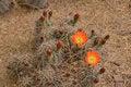 Free Flowering Cactus Stock Photo - 30401030