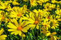 Free Close Up Of A Bunch Of Yellow Daisies Stock Images - 30406544