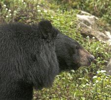 Free Himalayan Black Bear Royalty Free Stock Photography - 30400817
