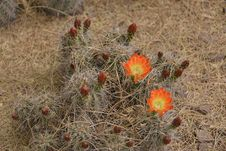 Free Flowering Cactus Stock Photo - 30401030
