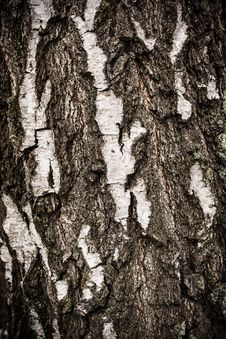 Free Birch Tree Bark Background Royalty Free Stock Photography - 30404337