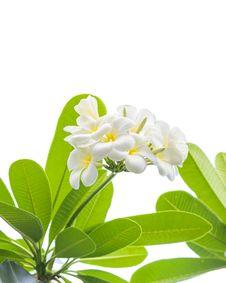 Free Frangipani &x28;plumeria&x29; Flowers On A Tree Stock Images - 30405064