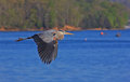 Free Great Blue Heron In Flight Royalty Free Stock Photography - 30414647