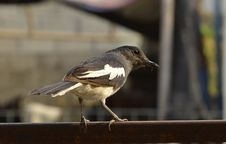 Free Oriental Magpie Robin. Royalty Free Stock Photo - 30410475