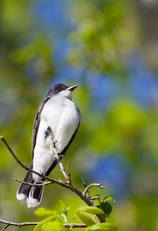 Free Eastern Kingbird Royalty Free Stock Photo - 30416235