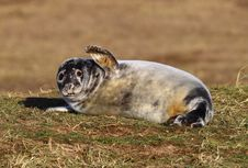 Free Grey Seal Royalty Free Stock Image - 30422106