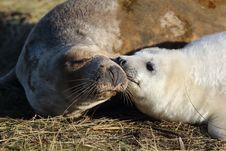 Free Seal Kisses Royalty Free Stock Photo - 30422115