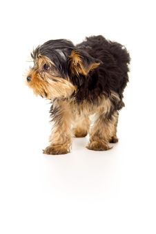 Free Small Portrait Of Yorkshire Terrier Stock Photography - 30422672