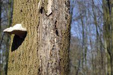 Free Tree Mushroom Royalty Free Stock Images - 30424409