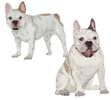 Free Two Images Of White French Bulldog Stock Images - 30424414