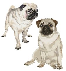 Free Two Pictures Of A White Pug Royalty Free Stock Photos - 30424468