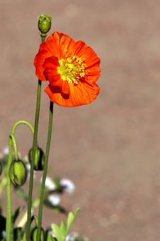 Free Red Poppy Stock Images - 30424814