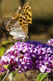 Free Butterfly On Flower Stock Photo - 30425590