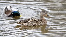 Free Mallard Ducks Royalty Free Stock Image - 30426856