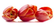 Free Three Tulips Stock Photo - 30427260