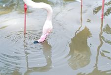 Free Pink Flamingoes2 Royalty Free Stock Image - 30427336