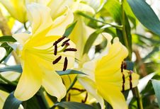 Free Yellow Lily Flower3 Royalty Free Stock Photography - 30427627