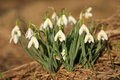 Free Snowdrops Stock Images - 30436144