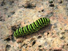 Caterpillar Of The Butterfly  Machaon On The Stone Stock Photos