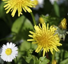Free Dandelion Flower Royalty Free Stock Images - 30432369