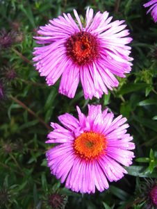Free Flowers Of Blue Beautiful Aster Royalty Free Stock Image - 30433996