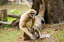 Free Gibbon Royalty Free Stock Images - 30445199