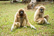 Free Gibbon Stock Photography - 30445332