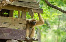 Free Gibbon Royalty Free Stock Photos - 30445428