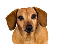 Puppy Dog Looking At You Royalty Free Stock Photos