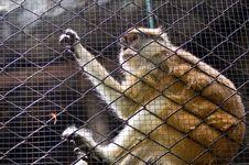 Free Gibbon Stock Images - 30445534