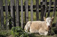 Free Calf At The Fence. Royalty Free Stock Photo - 30448495