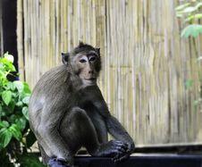 Free Monkey Royalty Free Stock Image - 30448886