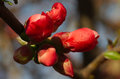 Free Buds Of Tree Flowers Royalty Free Stock Photo - 30452855