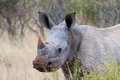Free Young White Rhino Royalty Free Stock Photos - 30454418