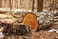 Free Tree Stump Royalty Free Stock Photography - 30457677