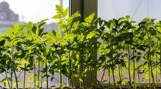 Free Tomato Seedlings Royalty Free Stock Image - 30450976