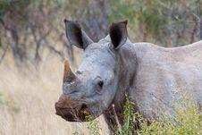 Free Young White Rhino Royalty Free Stock Photos - 30454418